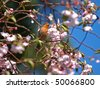 House Finch standing on Cherry Blossoms Tree - stock photo