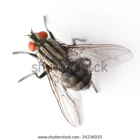 House Fly isolated on white - stock photo