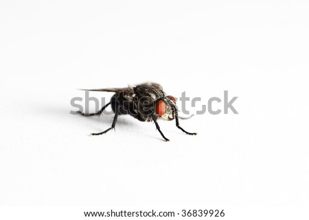 House fly (Muscidae Domestica), macro on white background - stock photo