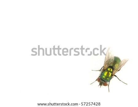 House fly on white background - stock photo