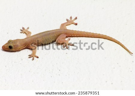 House lizard - gekco on the white wall - stock photo