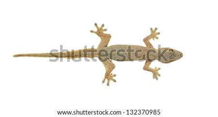 House lizard (Hemidactylus platyurus) isolated on white background - stock photo