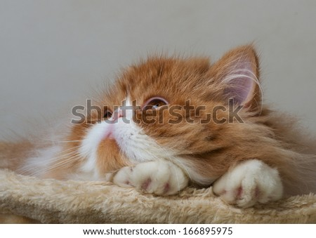House Persian kitten of red and white color on simple background