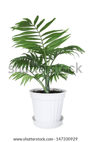 House plant Chamaedorea in a flower pot on a white background - stock photo