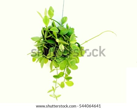 stock-photo-house-plant-hanging-on-white-background-544064641 Purple House Plant With Leaves Mo on house plants with waxy red blooms, house plants with long green leaves, house plants with shiny leaves, house plants with bronze leaves, house plants with dark red leaves, purple house plant fuzzy leaves, house plants with light green leaves, tomato plants with purple leaves, poisonous plants with purple leaves, house with red flowers, house plant rubber plant, house plants with small leaves, olive tree green leaves, purple foliage plants with leaves, florida plants with red leaves, wandering jew with fuzzy leaves, house plant purple heart, perennial plants with purple leaves, house plants with colorful leaves, house plants and their names,