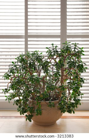 House plant jade tree in a pot and glass wall with blinds - stock photo
