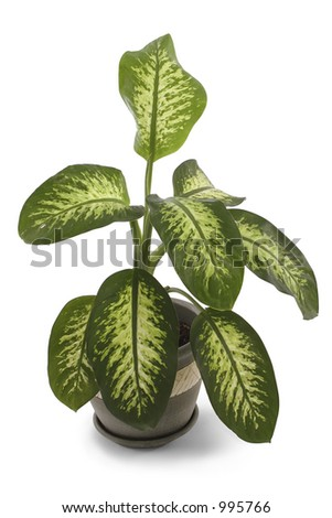 House plant over white with clipping path.   Dumb Cane. Dumb Plant. - stock photo