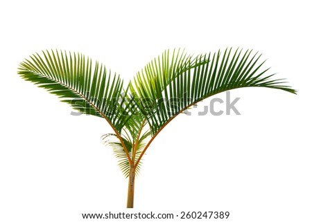 House plant yellow stem coco palm tree isolated on white background - stock photo