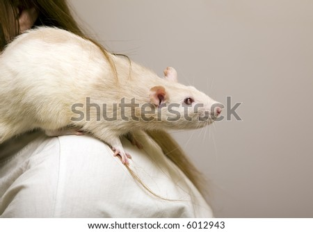 House rat close up on a shoulder