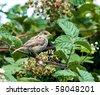 House Sparrow - stock photo