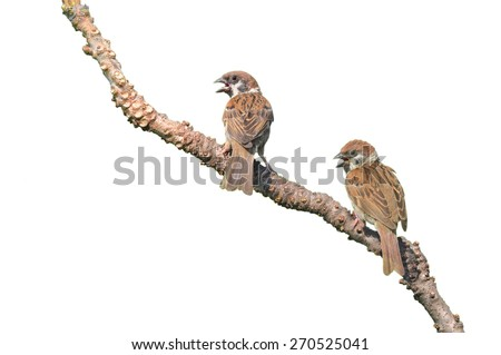 House Sparrow against isolated on a white background  - stock photo