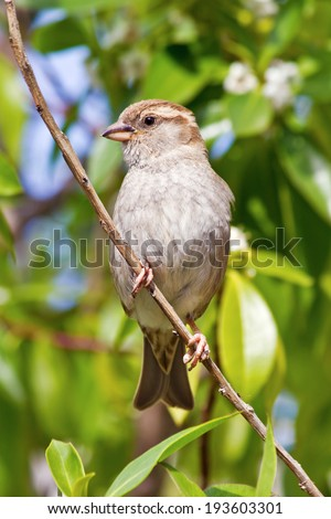 House Sparrow female (Passer domesticus) - stock photo