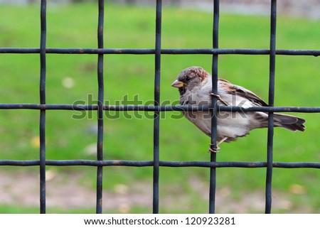 House sparrow on a lattice against a green grass - stock photo