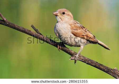 House sparrow on the branch - stock photo