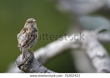 House Sparrow (Passer domesticus domesticus) female on a tree branch. - stock photo