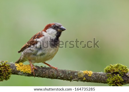 House Sparrow (Passer domesticus) on a twig. - stock photo
