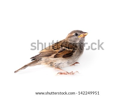 House Sparrow (passer domesticus) on a white background - stock photo