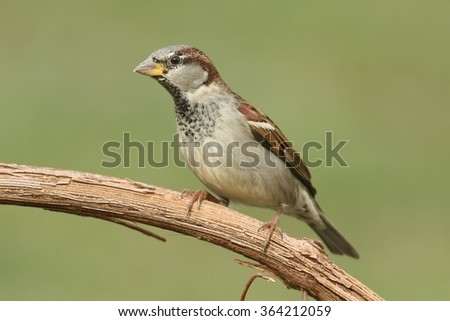 House Sparrow (Passer domesticus) perched on a branch with a green background - stock photo