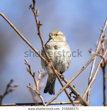 House Sparrow Perched on a Branch (Passer domesticus)