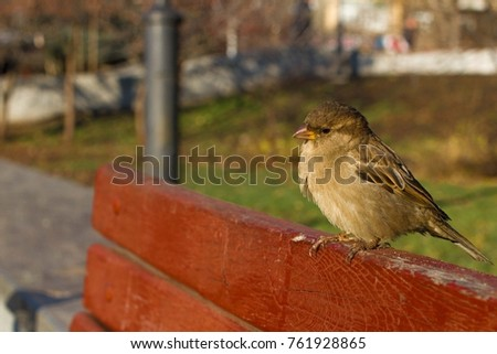 House sparrow perched on red wood board. Flying bird. Spring in the park