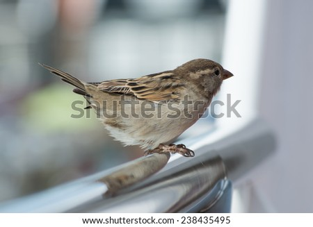 house sparrow standing on fence - stock photo