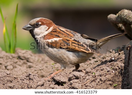 House sparrow walking through sands