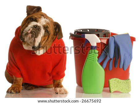 house training a puppy - english bulldog sitting beside bucket with cleaning products - stock photo