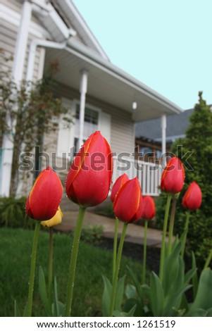 House Tulips - stock photo