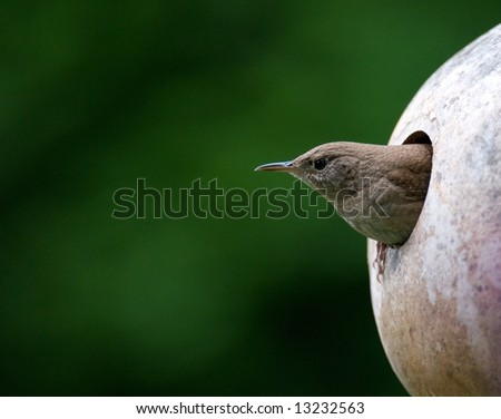 House wren emerging from bird house in Spring