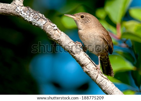 House Wren perched on a branch.