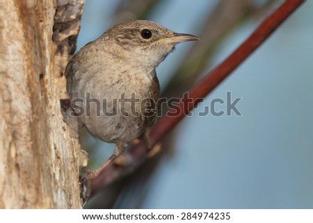 House Wren perched outside its nest. - stock photo