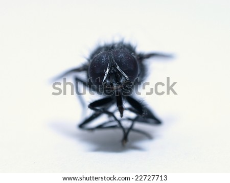 Housefly Isolated on White - stock photo