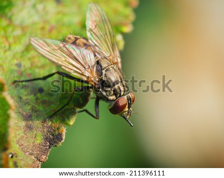 Housefly / Macro photo from a fly