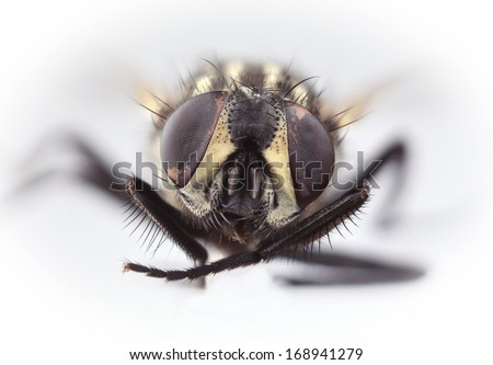 HouseFly Musca Domestica Isolated on White Background - stock photo