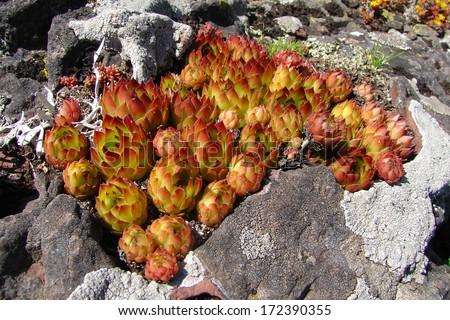 Houseleek plant on rocks - stock photo