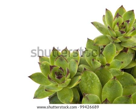 Houseleek with water drops isolated on white with copy space - stock photo