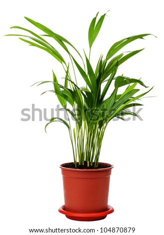 houseplant Areca is isolated on a white background - stock photo