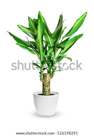 dracena stock images royalty free images vectors shutterstock. Black Bedroom Furniture Sets. Home Design Ideas
