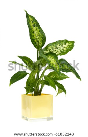 Houseplant in yellow glass pot isolated on white background. - stock photo