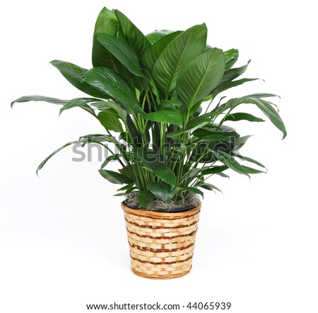 Houseplant on a white background - stock photo
