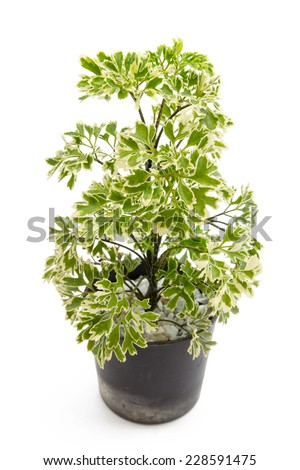 Houseplant, Polyscias in the small pots with white rock isolated on white background