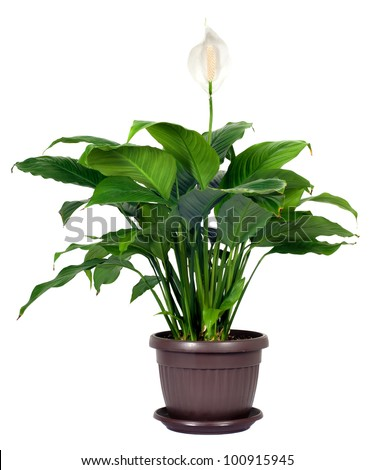 Houseplant - Spathiphyllum floribundum (Peace Lily). White Flower isolated on white background
