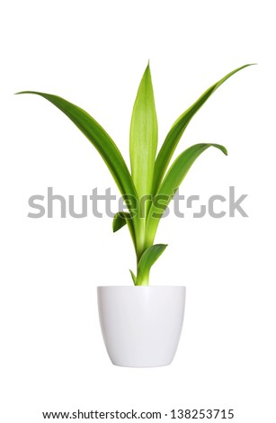 Houseplant - yang sprout of Yucca a potted plant isolated over white - stock photo