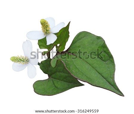 Houttuynia cordata chameleon fish mint flower and leaf isolated on white background - stock photo