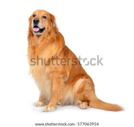 Hovawart dog isolated on white background 577063954 hovawart dog isolated on white background voltagebd Choice Image