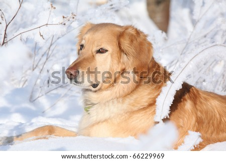 Hovawart in winter - stock photo