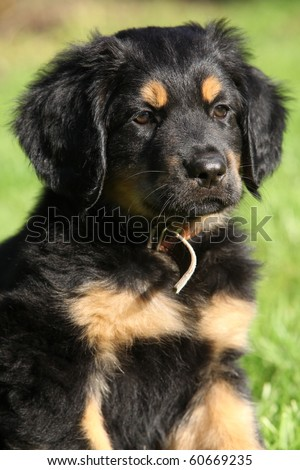 Hovawart puppy - stock photo