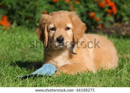 Hovawart puppy lying - stock photo
