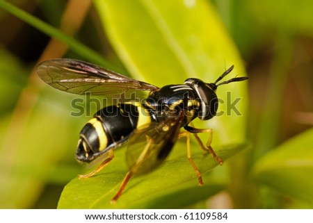Hover-fly, Chrysotoxum bicinctum. Looks like a wasp. Sitting on Vinca Minor leaf. - stock photo