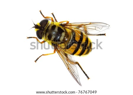 hover fly Myathropa florea (Syrphidae), simulating a bee - stock photo